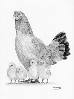 CHICKEN Hen &Chicks Ltd Edit art drawing prints in 2 sizes A4/A3 & card…