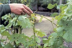 Prune grapevines now, when they are fully dormant, to avoid sap 'bleeding'.