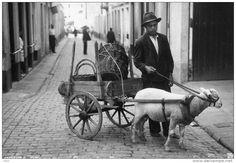 sheep cart azores
