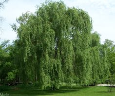 Weeping Willow Tree | Tattoo Tree Tattoos In Portage Indiana Weeping Angel