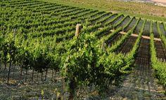 España es el mayor productor europeo de estos caldos, con más de 81.000 hectáreas certificadas