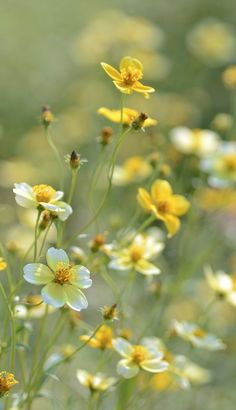 "Pretty wild flowers.... ""Winter cosmos (Biden)"" by snowshoe hare* on Flickr"