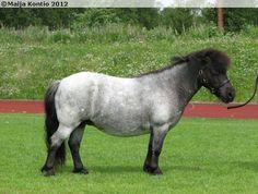 Black roan (blue roan) Shetland mare Seva Infanta.