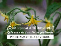 Hay veces que las tomateras pueden ser todo un enigma, empiezan a mostrar síntomas extraños difíciles de explicar. Por eso he dividido los problemas más comunes en tomateras en dos…