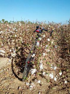 Pickin' cotton