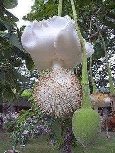 Fiore di BAUBA' nasce ogni 50 anni