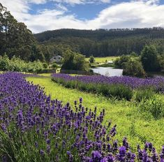 Our beautiful Tasmanian Lavender collection contains pure, natural and organic lavender oil which comes straight from the stunning lavender fields in Port Arthur, Tasmania. Have you tried any of this range? Lavender Fields, Lavender Oil, Port Arthur, Tasmania, Vineyard, Range, Organic, Pure Products, Natural