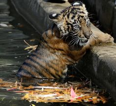 Gary Cameron / Reuters Male Sumatran tiger cub Bandar crawls out of a moat at the Smithsonian National Zoo after a swim test.