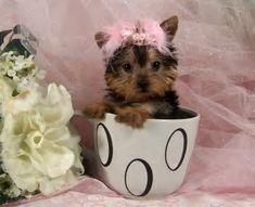 I want !! Teacup Yorkie