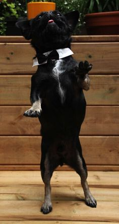 Kilo the dancing Pug in black tie