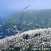 Cape Saint Mary's Reserve, Newfoundland (huge gannet nesting colony)