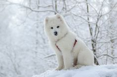 Samoyed Dog Breed     MY TOP FAVE!!!