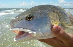 Redfish are fun to catch and eat but above all are a beautiful fish to see tailing in the surf. #fishingkayak