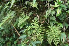 Polypodiaceae Pleopeltis pleopeltidis