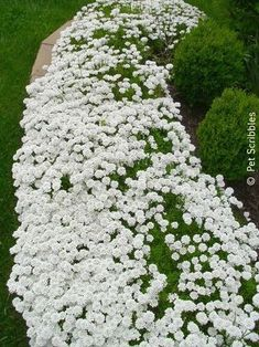 Candytuft: Hardy evergreen perennial ground cover for zones - Just planted this by my front steps blooming Perennials maintenance Perennials full sun ideas Moon Garden, Dream Garden, Full Sun Garden, Full Sun Plants, Night Garden, Garden Shrubs, Lawn And Garden, Outdoor Plants, Outdoor Gardens