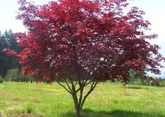 Bloodgood' is a dependable sturdy tree that spreads with age. In extreme hot sun it can sunburn slightly. Some afternoon protection is beneficial. Fall colors are usually bright crimson. This strong growing tree has very good qualities not always found in some of the other red-leaved cultivars.