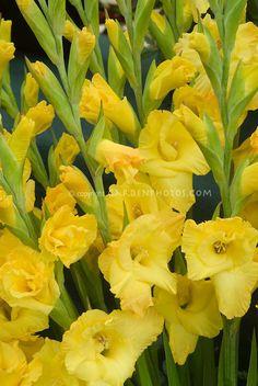 Gladiolus 'Lemon Drop'
