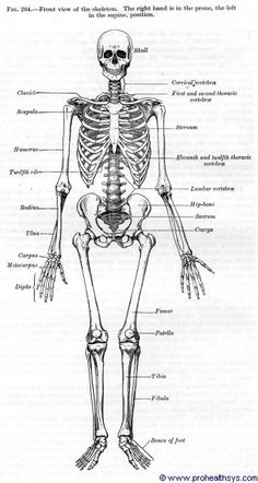Image detail for -Professional Health Systems - Health care, Health information and . Skull Anatomy, Skeleton Anatomy, Anatomy Art, Skeleton Drawings, Cool Drawings, Anatomy Reference, Drawing Reference, Skeleton System, Human Anatomy Drawing