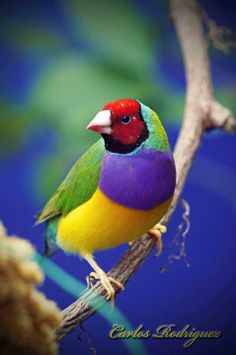 Gouldian Finch (Erythrura gouldiae)  North Australia N of 20° S: in N Western Australia (Kimberley Division), N Northern Territory, and N Queensland (mainly in base of Cape York Peninsula)