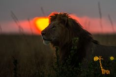 Закат в Масаи Мара http://travelkenya.ru/nashi-programmy/safari/2-dnya-i-1-noch-v-nacionalnom-parke-masai-mara   {{AutoHashTags}}