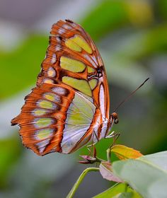 Malachite Butterfly by One more shot Rog, via Flickr