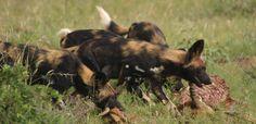 Wild dogs on male impala carcass they took down on 7.7.12 at Loisaba Wilderness, Laikpia, Kenya.  www.loisaba.com