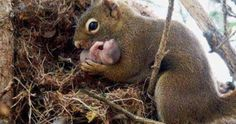 Just Pinned to Animals: The picture shows a female red squirrel adopting an orphan baby from an abandoned nest. Although squirrels rarely interact they learn who their nearby relatives are by hearing their unique calls. If they fail to hear a relatives