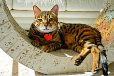 Кошка саванна (фото): покорный и ласковый гепард Смотри больше http://kot-pes.com/koshka-savanna-foto-pokornyj-i-laskovyj-gepard/