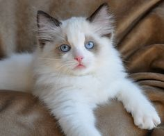 Bicolor ragdoll ~ another beauty