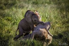 I cant handle how adorable they are. .!! oh my heart. .Credit : @ryan.wilkie.photos - Toddlers at play. This youngster may just have the most tolerant of playmates. The elder of the two let the little one clamber all over him! For info about promoting your elephant art or crafts send me a direct message @elephant.gifts or emailelephantgifts@outlook.com . Follow @elephant.gifts for inspiring elephant images and videos every day! . . #elephant #elephants #elephantlove