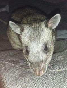 Hello, my name is McGee, I am Ayisa's brother/littermate, I am a Gambian Pouched Rat......