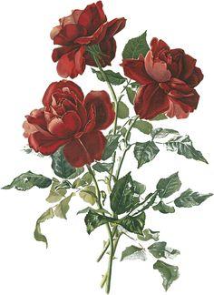 薔薇のイラスト見本-リアルテイスト