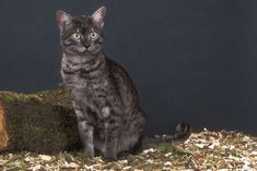 Egyptian Mau Cat information, pictures, facts and videos.The Egyptian Mau cat is a gorgeous, powerful and athletic cat with the only naturally occurring spotted coat among domestic breeds Egyptian Mau, Cat Breeds, Cool Pictures, Hello Kitty, Wildlife, Cats, Animals, Images, Smoke