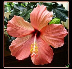 Peach Pink Hibiscus