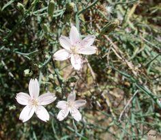 wire lettuce, Chihuahuan Desert Trail, Boyce Thompson Arboretum