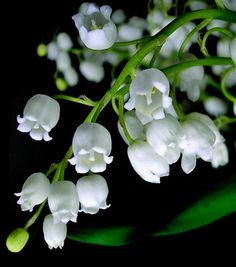 #Lily of the Valley or as it is also known as 'Our Lady's tears' or 'Mary's #tears'. Used by #herbalists as a restricted #herbal remedy due to its presence of cardiac glycosides and saponins.