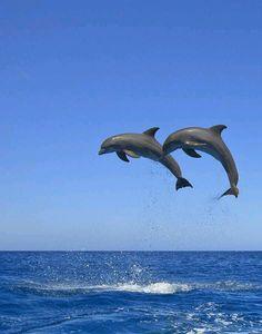 Roatan Bay Islands Honduras Bottlenose Dolphins (Tursiops Truncatus) Jumping In The Caribbean Sea Canvas Art - Stuart Westmorland Design Pics x 17 Orcas, Beautiful Creatures, Animals Beautiful, Bottlenose Dolphin, Water Animals, Delphine, Ocean Creatures, Tier Fotos, Underwater World
