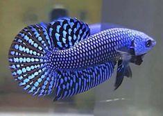 Coral Aquarium, Tropical Fish Aquarium, Aquarium Fish Tank, Betta Fish Types, Betta Fish Tank, Beta Fish, Tropical Freshwater Fish, Freshwater Aquarium Fish, Pretty Fish