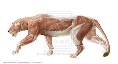 lion anatomy 1 by DirkTraufelder on deviantART
