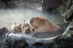 Capybara and babies having a swim.
