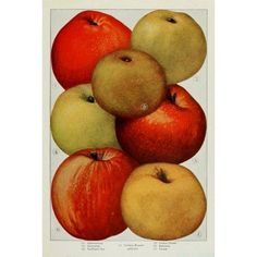 The Grocers Encyclopedia 1911 Apples 1 Canvas Art - (18 x 24)
