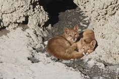 Puma cubs! photo by our professional photographer & wildlife guide Diego Araya #Chile #Patagonia #Adventuretravel #wildlife #animals