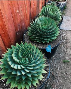 Amazing Spiral aloe shot by Betty Martin.list 🌱 Succulent seed web shop 💚 … Amazing Spiral aloe shot by Betty Martin.list 🌱 Succulent seed web shop 💚 www. Succulent Landscaping, Succulent Gardening, Garden Plants, Container Gardening, Indoor Plants, Garden Landscaping, Flowering Plants, Succulent Terrarium, Palm Trees Landscaping