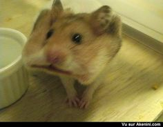 Hamster avec un biscuit dans les joues - hamster cracker