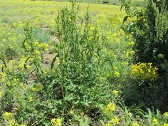 Curly dock (Rumex crispus), photo taken 10 June 2014.  This non native plant came from Eurasia, it contains oxalic acid which can be harmful to cattle.  It belongs to the Polygonaceae family. 2014©KathleenRDuHoux