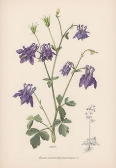 1950's Vintage Botanical Print Aquilegia by AntiquePrintGarden