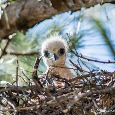 Red Tailed Hawk chick photo by Maranda Mink, Huntsville, AL