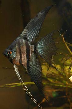 Pinoy veil #TropicalFishFreshwater