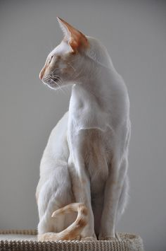 Wouter Cream Point Siamese by jelliozef, via Flickr