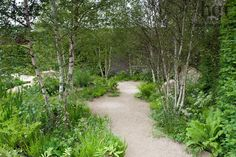 Harpur Garden Images Ltd :: 12mhch333 Gravel path through birch Betula glade underplanted with ferns and naturalistic planting of meadow flowers boulder Design: Sarah Price The Telegraph Garden. Gold Award. RHS Chelsea Flower Show 2012 Marcus Harpur